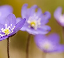 Anemone hepatica II Sticker
