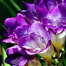 Royal Purple - The Prince Of Freesias by Michael May