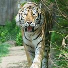 Shere Khan by Imagery