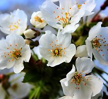 White Blossoms by Vicki Spindler (VHS Photography)