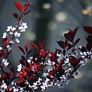 Japanese Plum Tree by autumnwind