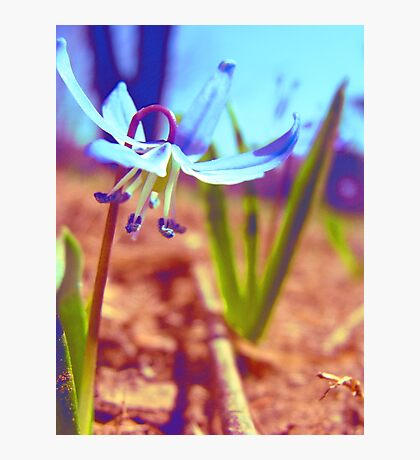 Tiny Blue Wild Flower Photographic Print