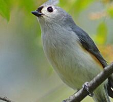 Tufted Titmouse in a Choke Cherry Tree Sticker