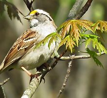The White-throated Sparrow by lorilee