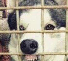 Siberian Husky (Fiberian Hufky) Sticker