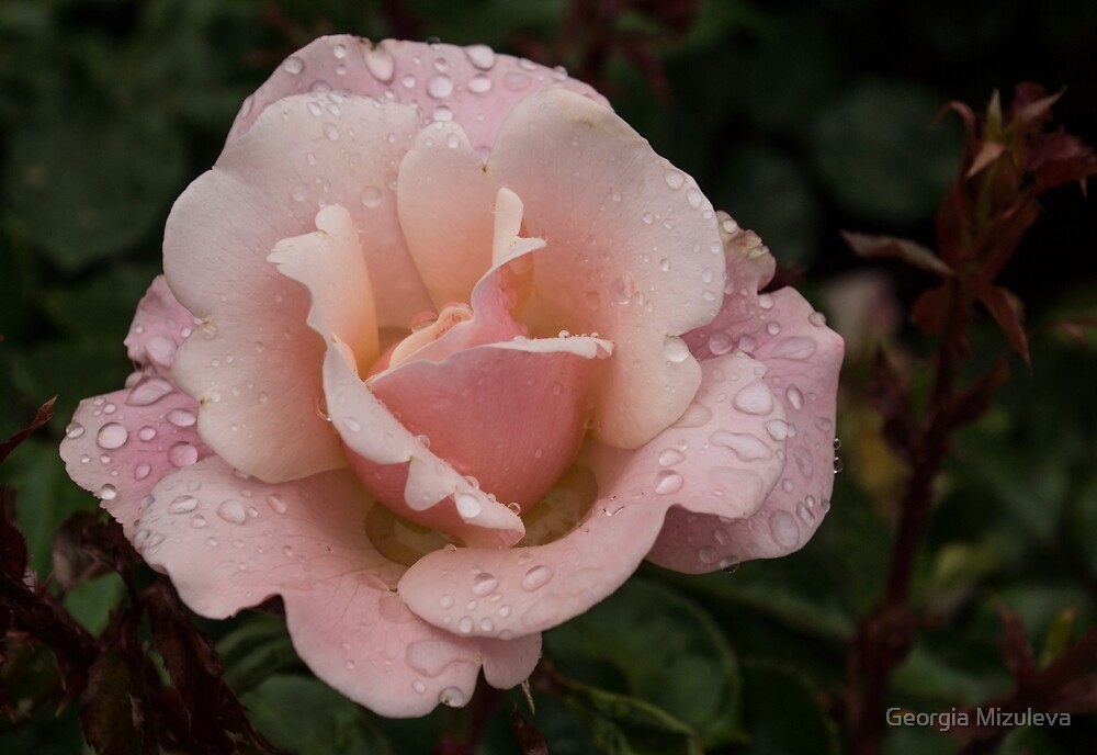 Rose and Rain - Soft Pink Raindrops by Georgia Mizuleva