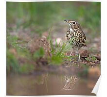 Song Thrush (Turdus philomelos) on the ground near a puddle of water Poster