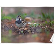 Spanish sparrow or willow sparrow (Passer hispaniolensis)  Poster