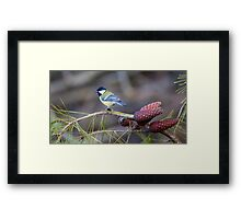 Great Tit (Parus major) perched on a pine tree branch Framed Print