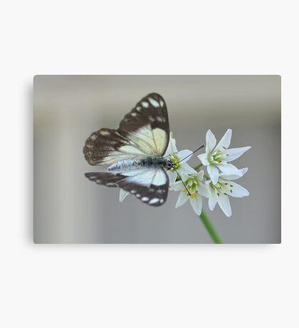 Pretty Flying Things - Moth (4) Canvas Print