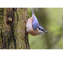 """ Playful Nuthatch "" Photographic Print"