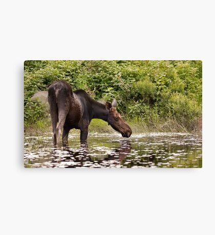 Moose in pond - Algonquin Park Canvas Print