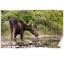 Moose in pond - Algonquin Park Poster