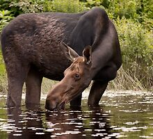 My dinner with a moose - Algonquin Park by Jim Cumming