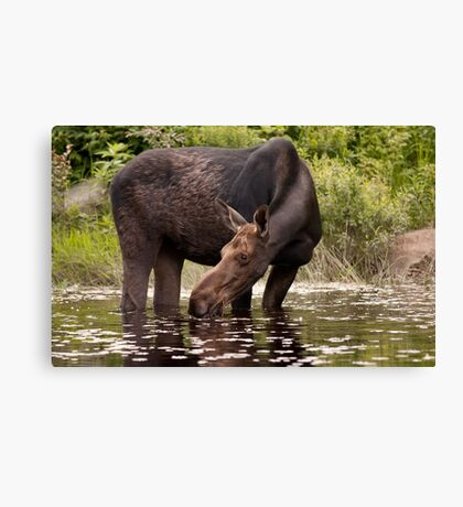 My dinner with a moose - Algonquin Park Canvas Print