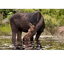 My dinner with a moose - Algonquin Park Photographic Print