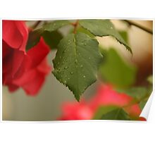 Red rose after the rain over natural background Poster