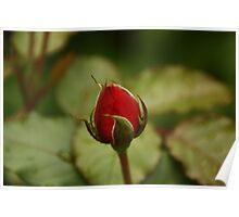 single Red rose over natural green background Poster