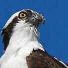 An Osprey Profile by jozi1