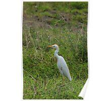 Cattle Egret in a Field Poster