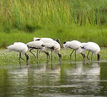 Wood Storks Foraging by Cynthia48