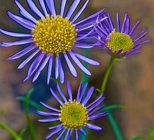 Wild Blue Asters by John Butler