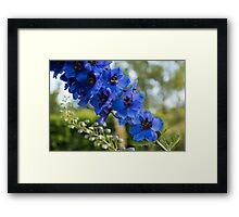 Sapphire Blues and Pale Greens - a Showy Delphinium Framed Print