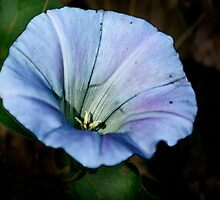 Bindweed by cclaude