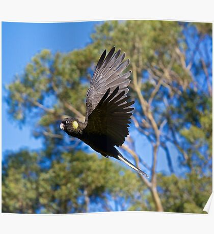 Yellow-tailed Black-Cockatoo Poster
