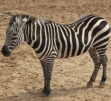 Zebra Stripes by Norma Jean Lipert