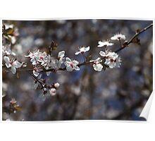 White Blossom of Spring Poster