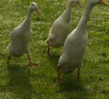 Here come the ducks Sticker