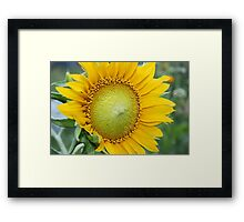 sunflower on green background in Sunny weather Framed Print