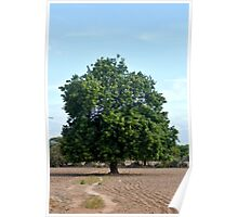 Solitary tree on a sandy plain Poster