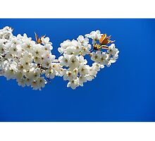 Cherry Blossom Branch Photographic Print