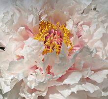White Peony by Sandy Keeton