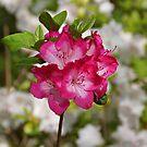 Pink Azalea by Sandy Keeton
