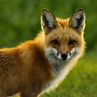 Red Fox Backlit by AriasPhotos