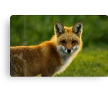 Red Fox Backlit Canvas Print