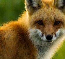 Red Fox Backlit Sticker