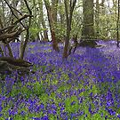 The Bluebell Wood by John Thurgood