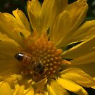 Bee my honey by Tom McDonnell