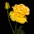 Yellow Rose and Bud by Floyd Hopper