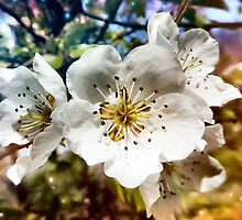 Pear Blossoms by Sheri Nye