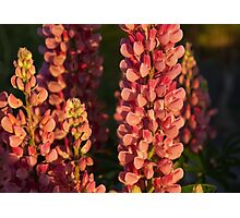 Hot Pink Lupines From My Mother's Garden Photographic Print