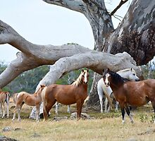 Welsh Mountain Pony Mares and Foals by fenwickstud