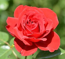 Red Rose by fenwickstud