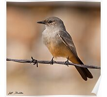 Say's Phoebe on a Barbed Wire Poster