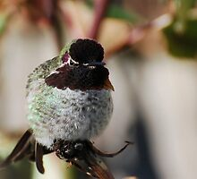 Male Anna's Hummingbird by KarDanCreations