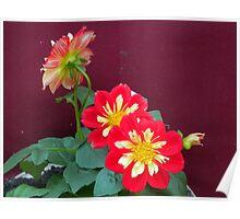 Dahlias in bloom Poster